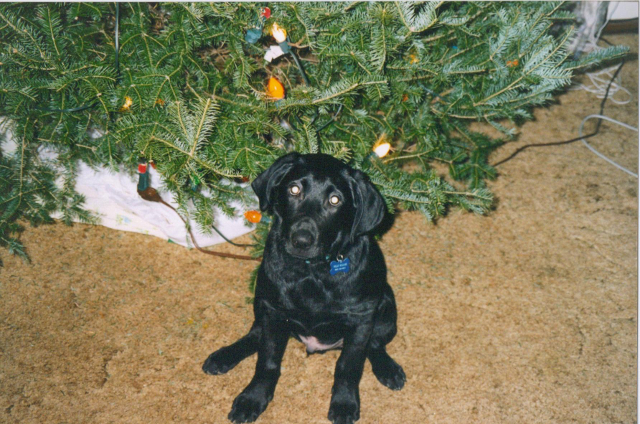 Willy at 16 weeks sitting under his first Christmas Tree