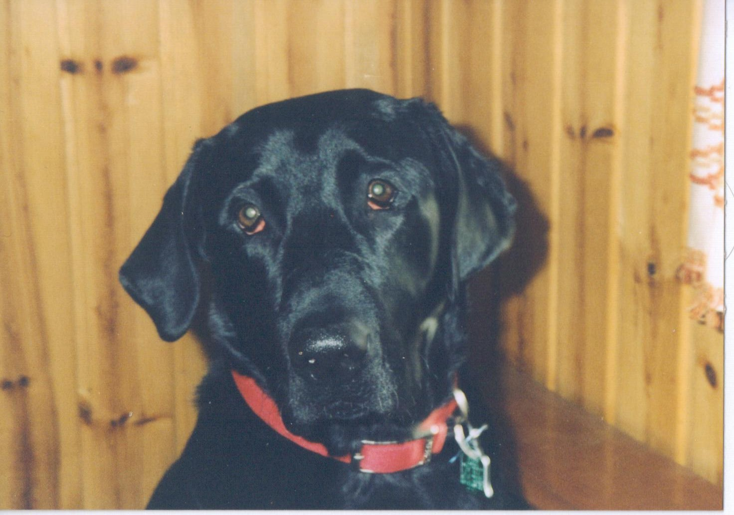 Our Black Labrador Retriever Willy